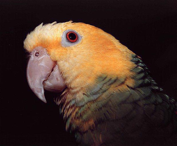 Double Yellow-headed Amazon Parrot (Amazona oratrix) <!--황금머리아마존앵무-->; Image ONLY