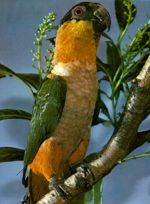 Black-headed Parrot (Pionites melanocephala) <!--검은머리앵무-->; Image ONLY