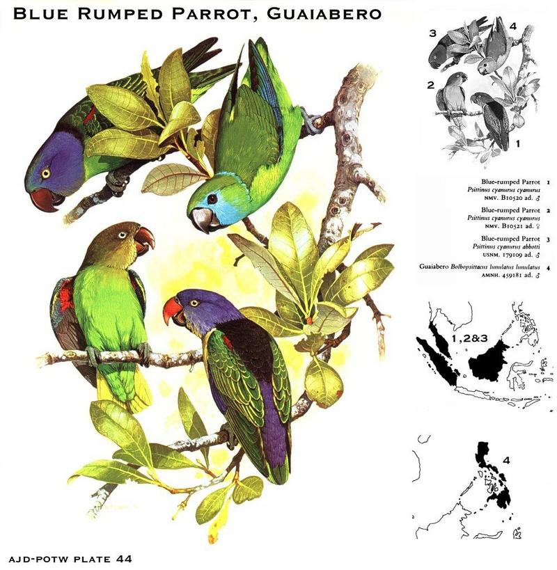 Blue-rumped Parrot (Psittinus cyanurus) <!--파란꽁지앵무-->; DISPLAY FULL IMAGE.