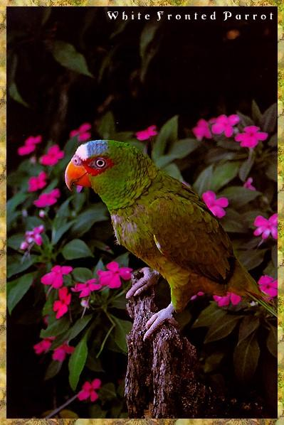 White-fronted Amazon Parrot (Amazona albifrons) <!--흰이마아마존앵무-->; Image ONLY