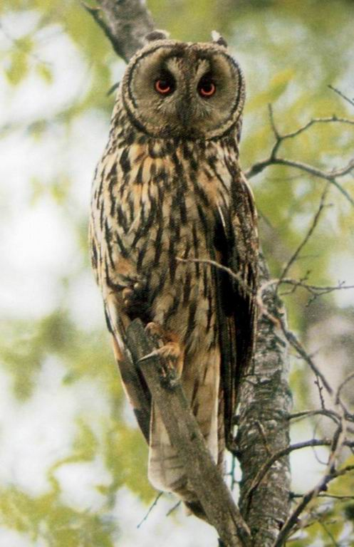 일본칡부엉이 Asio otus (Long-eared Owl, Japan); Image ONLY