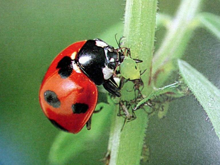 coccinella septempunctata seven spotted ladybird japan image only