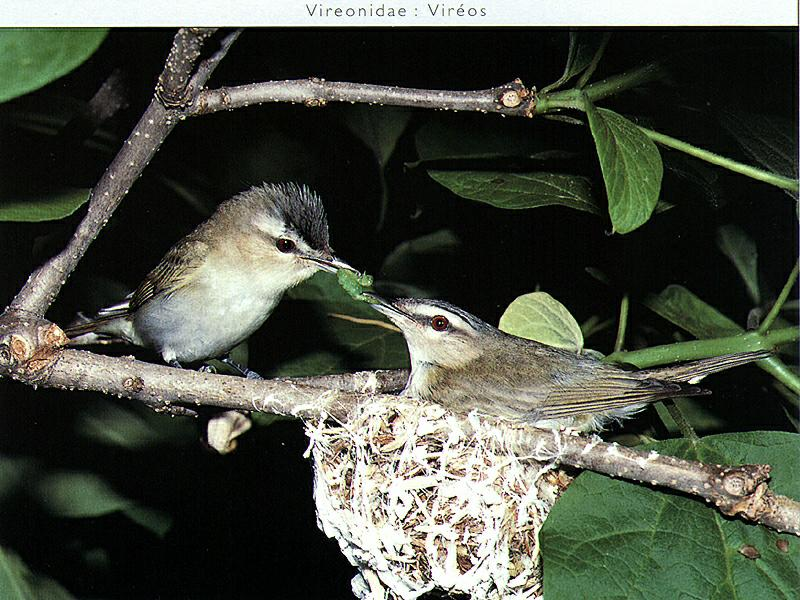 Red-eyed Vireo (Vireo olivaceus) <!--붉은눈비레오-->; Image ONLY