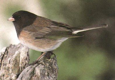 Dark-eyed Junco (Junco hyemalis) <!--검은눈방울새-->; Image ONLY