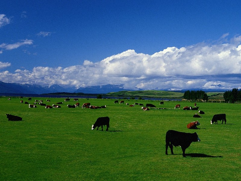 [DOT CD01] Cattle, New Zealand; DISPLAY FULL IMAGE.