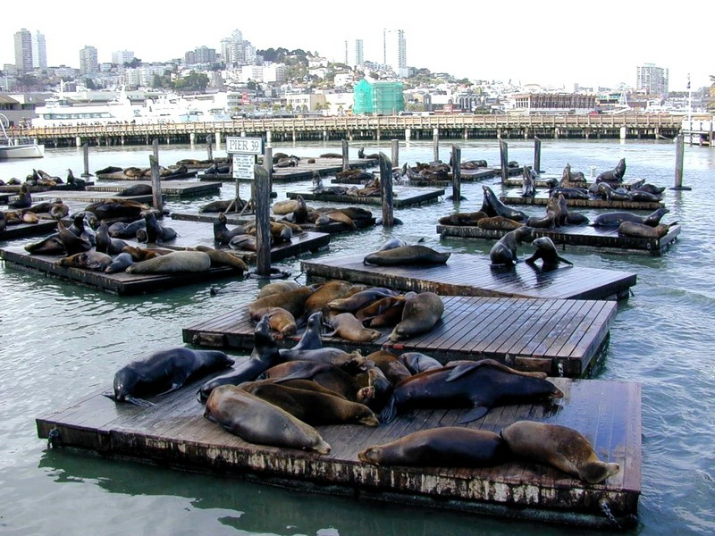 [DOT CD01] California Sea Lions, San Francisco; DISPLAY FULL IMAGE.