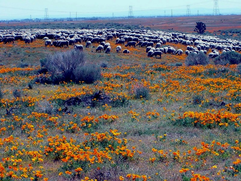 [DOT CD02] California Mojave Desert- Sheep; DISPLAY FULL IMAGE.