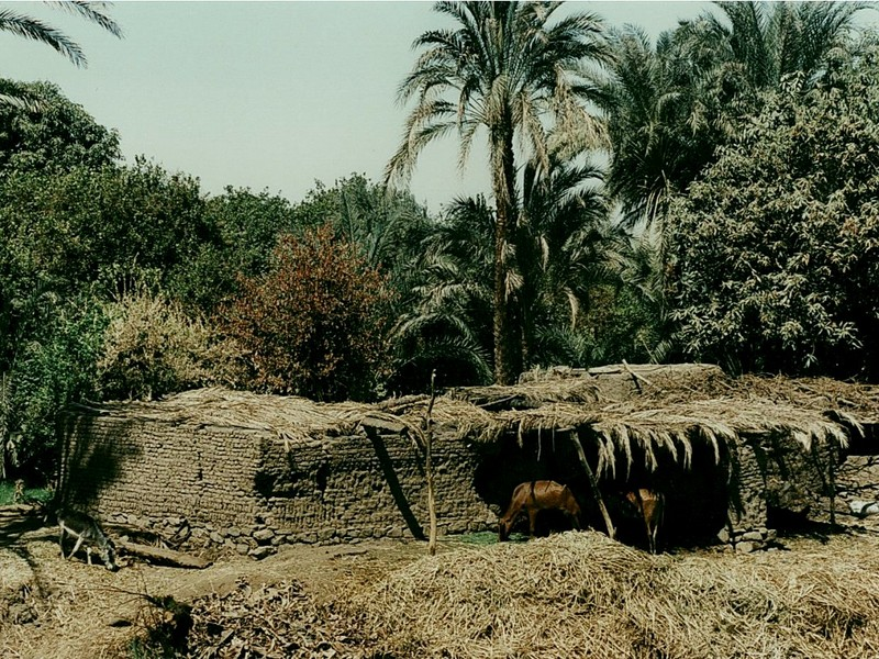 [DOT CD02] Egypt Nile Cattle Shed - Cows; DISPLAY FULL IMAGE.