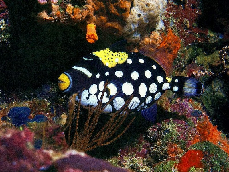 [DOT CD03] Underwater - Clown Triggerfish; DISPLAY FULL IMAGE.