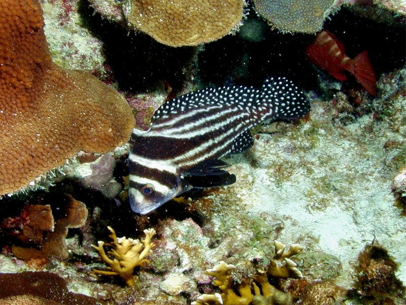 [DOT CD03] Underwater - Spotted Drumfish; DISPLAY FULL IMAGE.