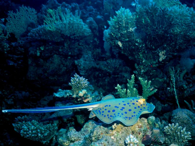 [DOT CD03] Underwater - Yellow-spotted Ray; DISPLAY FULL IMAGE.