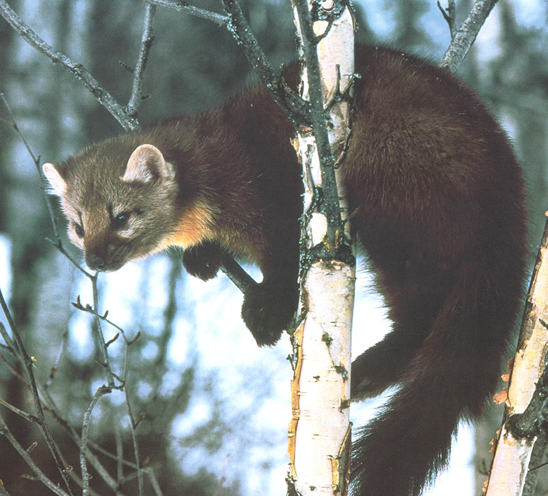 [zFox SWD Animals] Pine Marten; Image ONLY