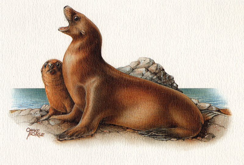 [zFox SWD Animals] California Sea Lion (illust); DISPLAY FULL IMAGE.