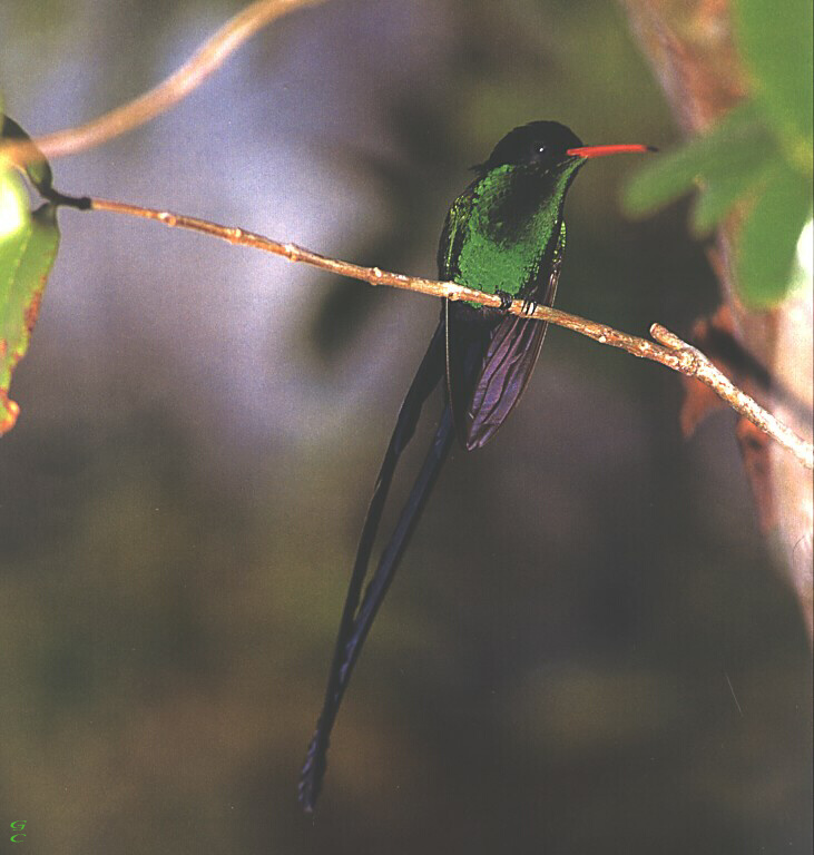 [GrayCreek Hummingbirds] Red-billed Streamertail (Trochilus polytmus); Image ONLY