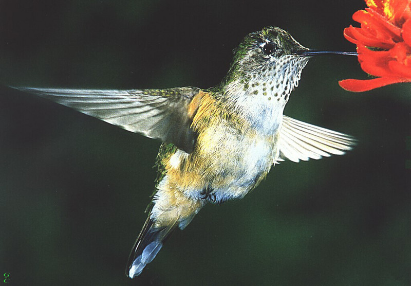 [GrayCreek Hummingbirds] Broad-billed Hummingbird female (Cynanthus latirostris); DISPLAY FULL IMAGE.