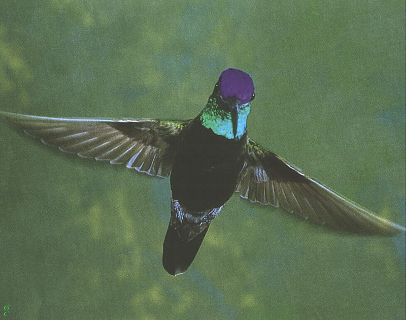 [GrayCreek Hummingbirds] Magnificent Hummingbird male (Eugenes fulgens); DISPLAY FULL IMAGE.