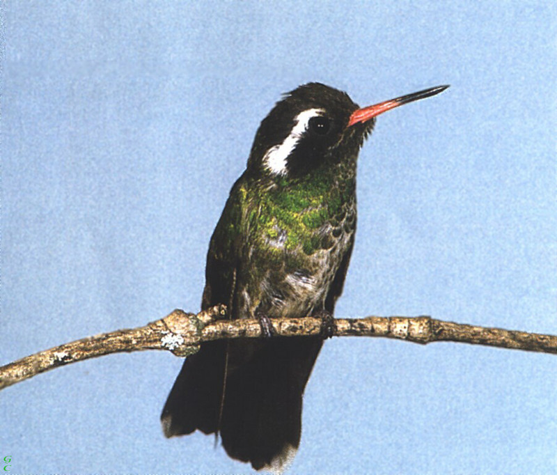 [GrayCreek Hummingbirds] White-eared Hummingbird female (Hylocharis leucotis); DISPLAY FULL IMAGE.