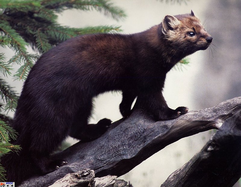 [GrayCreek Scan - North American Wildlife] Amrican Marten; DISPLAY FULL IMAGE.