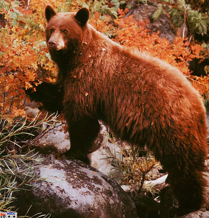 [GrayCreek Scan - North American Wildlife] Cinnamon Phase American Black Bear; Image ONLY