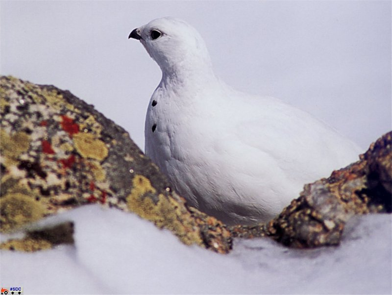 GCNAW057-White-Tailed Ptarmigan.jpg