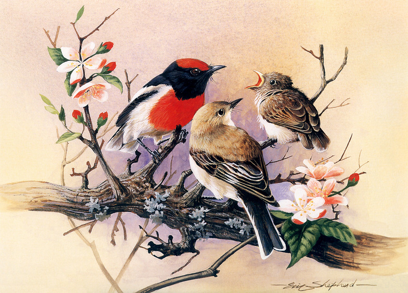 [Flowerchild scan] Eric Shepherd - 2002 Australian Birds Calendar - Red-capped Robin; DISPLAY FULL IMAGE.