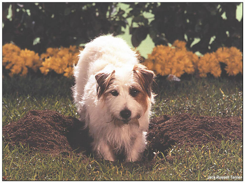 [GrayCreek MM Calendar] Jack Russell Terrier; DISPLAY FULL IMAGE.