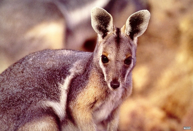 [TWON scan Nature (Animals)] Yellow-footed Rock Wallaby; DISPLAY FULL IMAGE.