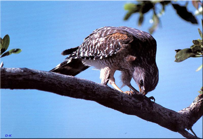 dk 076 Red Shouldered Hawk.jpg