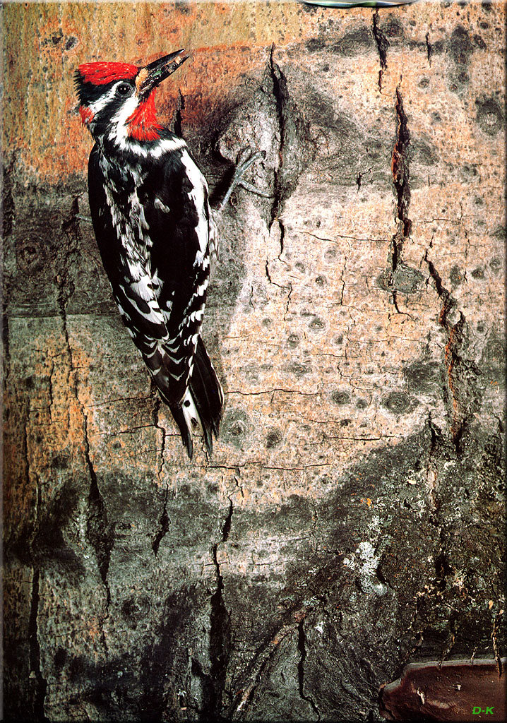 [Birds of North America] Red-naped Sapsucker; Image ONLY