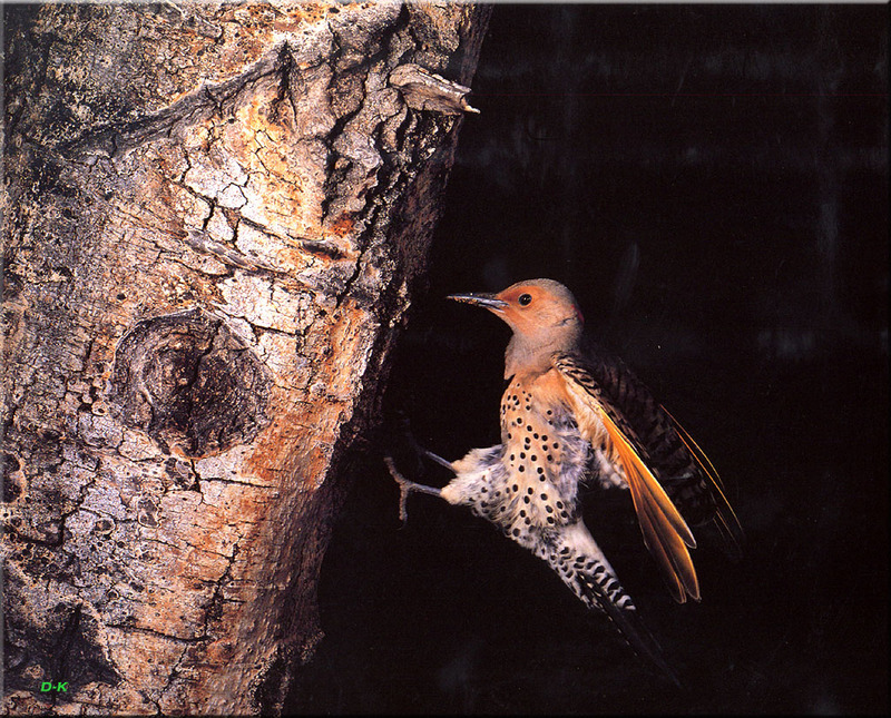 [Birds of North America] Yellow-shafted Northern Flicker; DISPLAY FULL IMAGE.