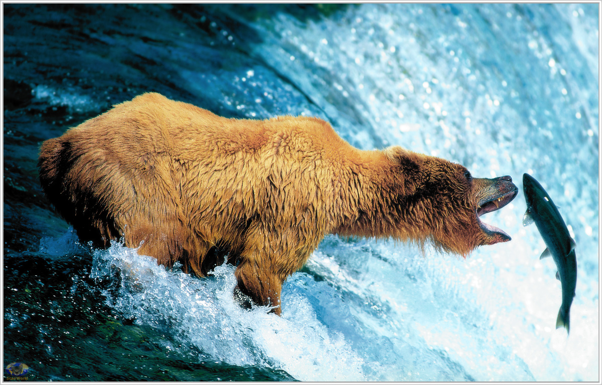 Minnie scenes swd brown bear catching salmon brooks for Bear catching fish