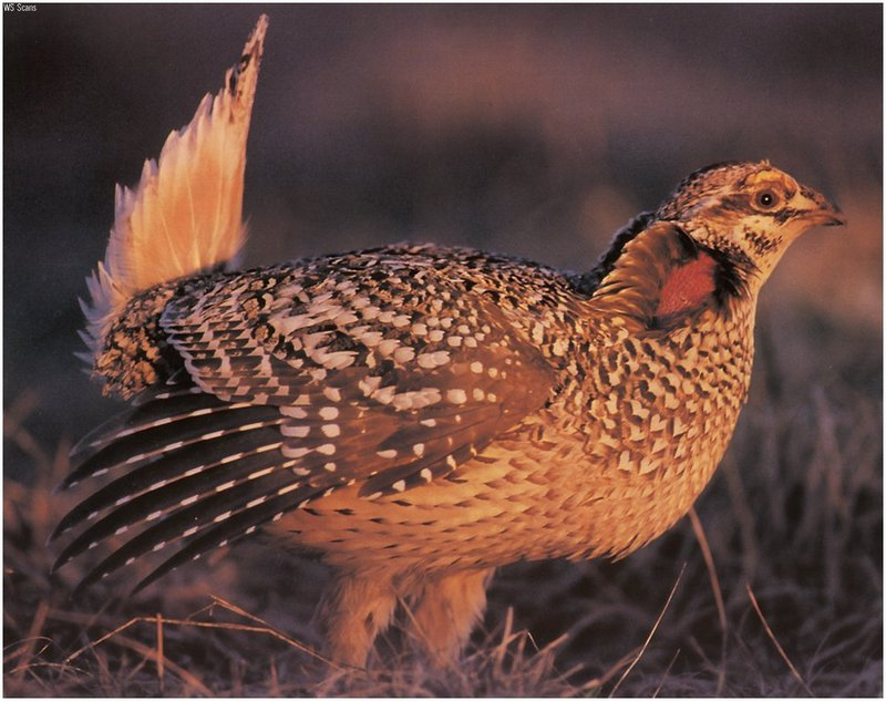 [WillyStoner Scans - Wildlife] Sharp-tailed Grouse; DISPLAY FULL IMAGE.