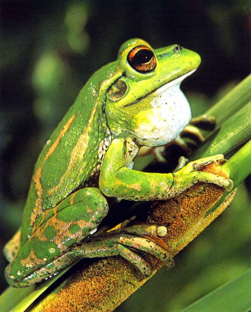 Green and Golden Bell Frog (Litoria aurea) <!--초록황금종개구리(호주)-->; DISPLAY FULL IMAGE.