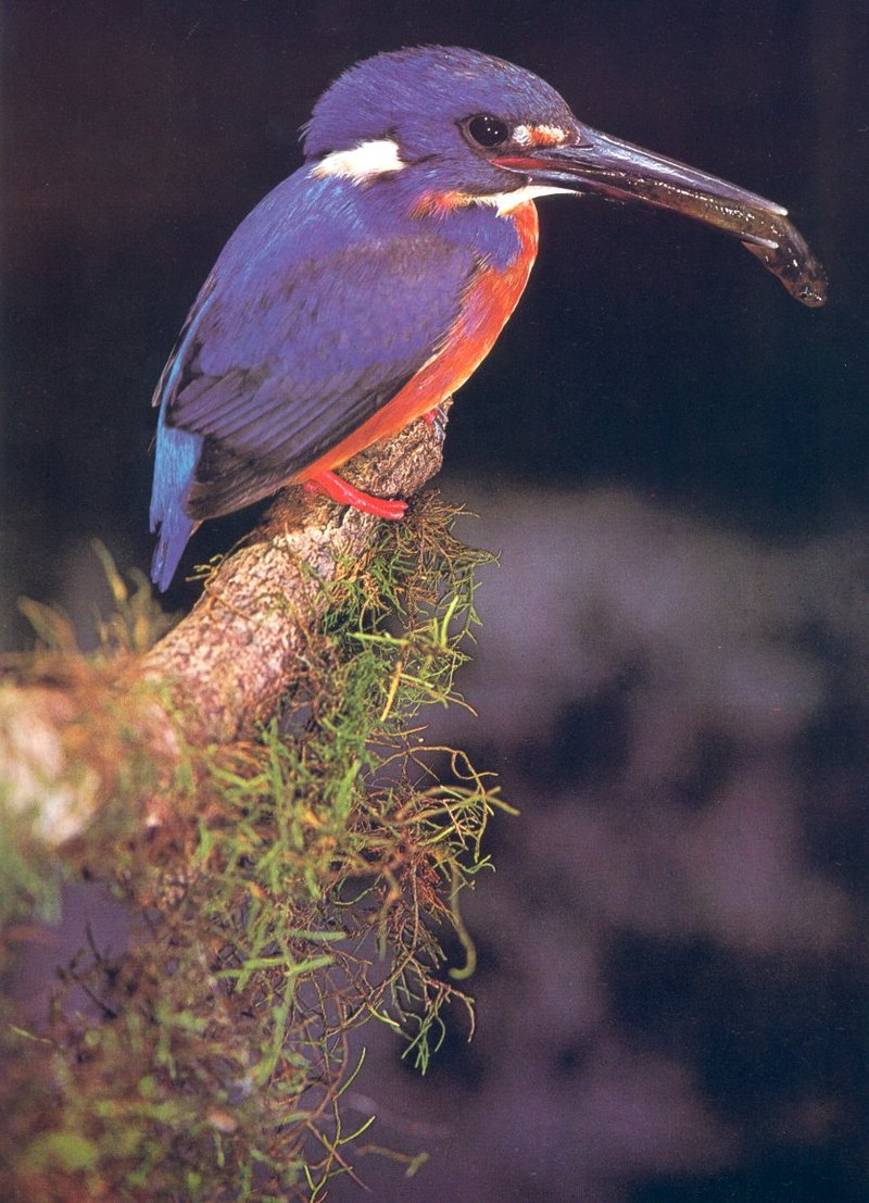 Azure Kingfisher, Alcedo azurea; DISPLAY FULL IMAGE.