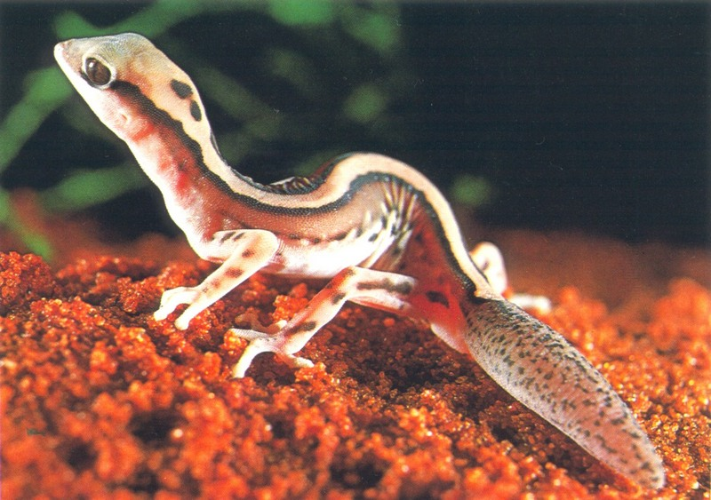 Beautiful Gecko (Diplodactylus pulcher); DISPLAY FULL IMAGE.