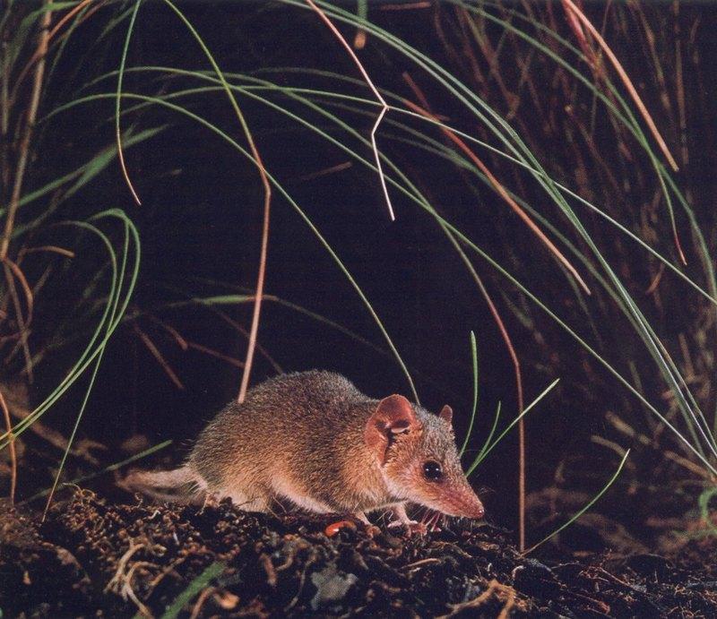 Pigmy Marsupial-mouse; DISPLAY FULL IMAGE