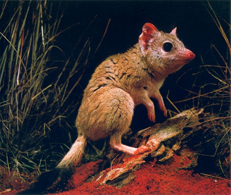 Kowari, Brush-tailed Marsupial Rat (Dasycercus Byrnei
