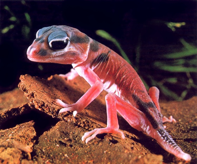 Knob-tailed Gecko; DISPLAY FULL IMAGE.