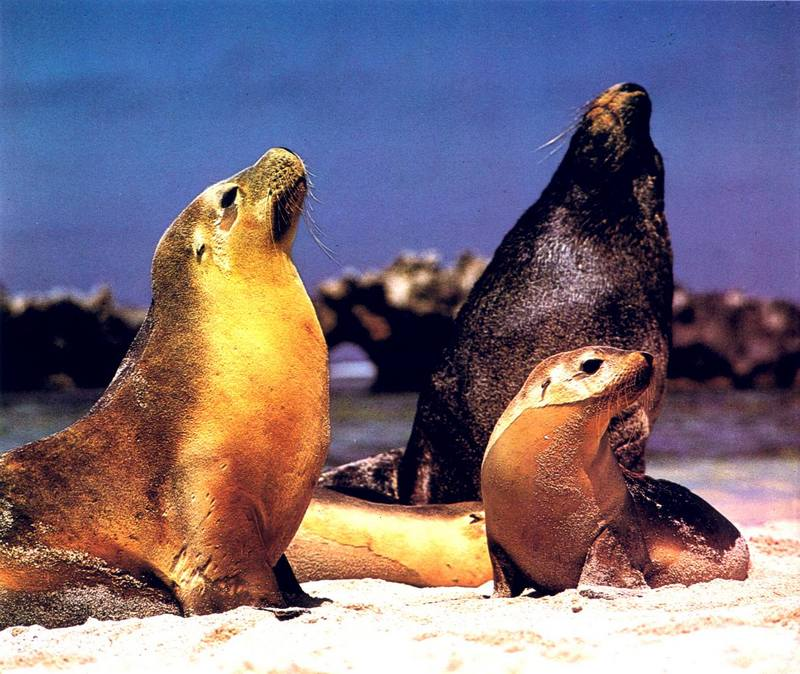 Australian Sea Lion family (Neophoca cinerea); DISPLAY FULL IMAGE.