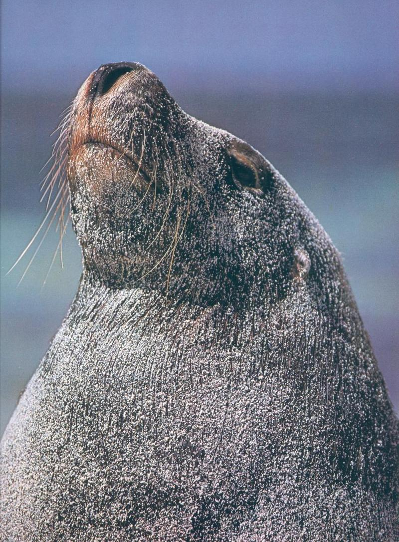 Australian Sea Lion bull (Neophoca cinerea); DISPLAY FULL IMAGE.
