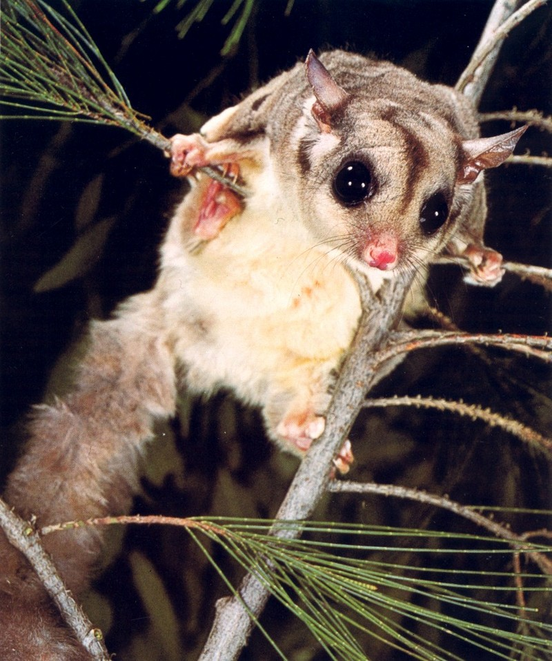 Sugar Glider; DISPLAY FULL IMAGE.