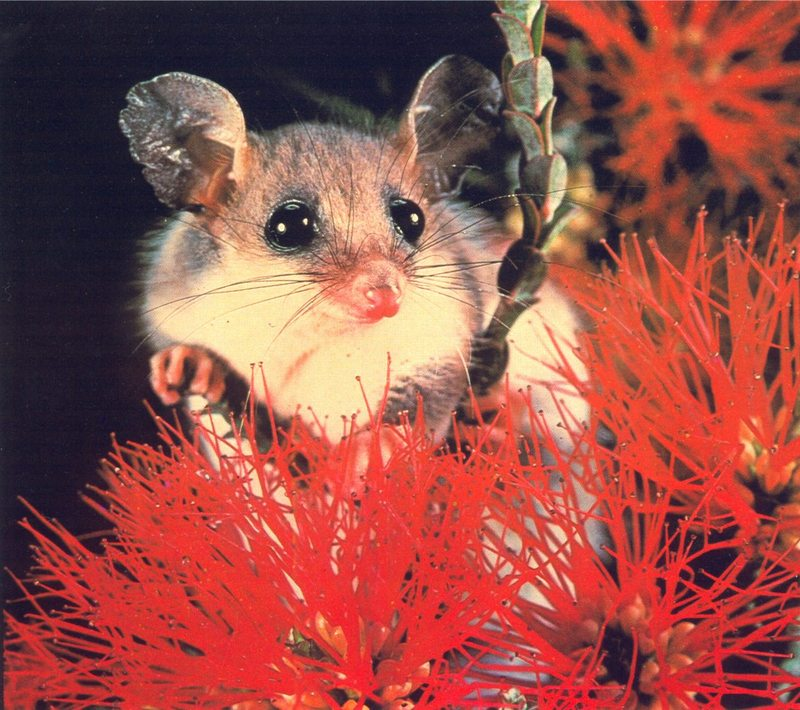 Pigmy Possum; DISPLAY FULL IMAGE.