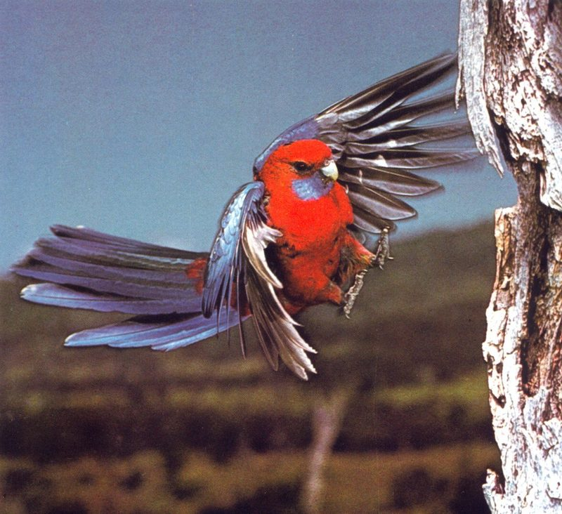 Crimson Rosella; DISPLAY FULL IMAGE.