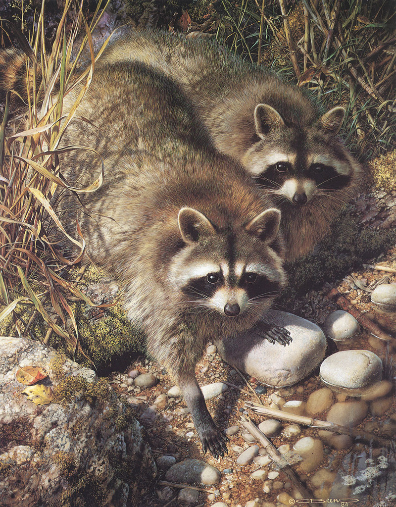 [Carl Brenders - Wildlife Paintings] Waterside Encounter ... Raccoon Painting