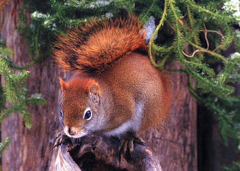 [GrayCreek Scans - 2002 Calendar] Northwoods Wildlife - Red Squirrel; DISPLAY FULL IMAGE.