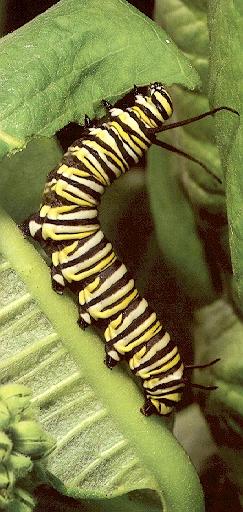 Caterpillar-sj.jpg
