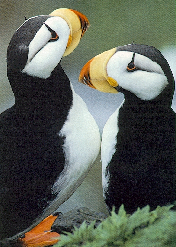 [Sj scans - Critteria 3] Horned Puffins; Image ONLY