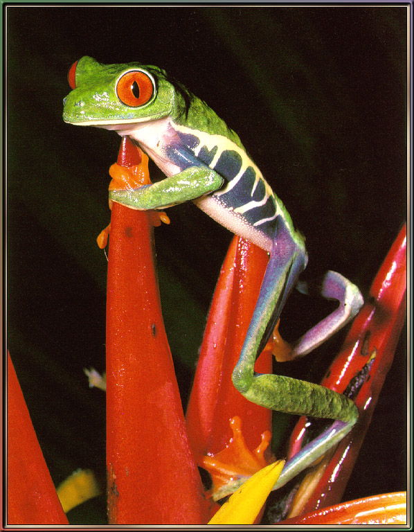[Sj scans - Critteria 3] Red-eyed Leaffrog; Image ONLY