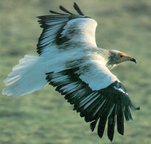 [Sj scans - Critteria 3] Egyptian Vulture in flight, Neophron percnopterus; Image ONLY