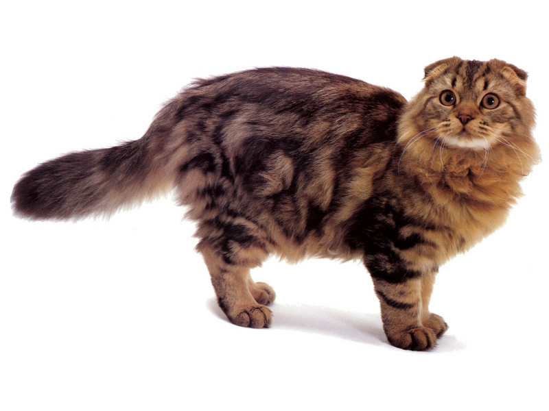 [JLM scans - Cat Breed] Longhaired Scottish Fold Brown Classic Tabby; DISPLAY FULL IMAGE.